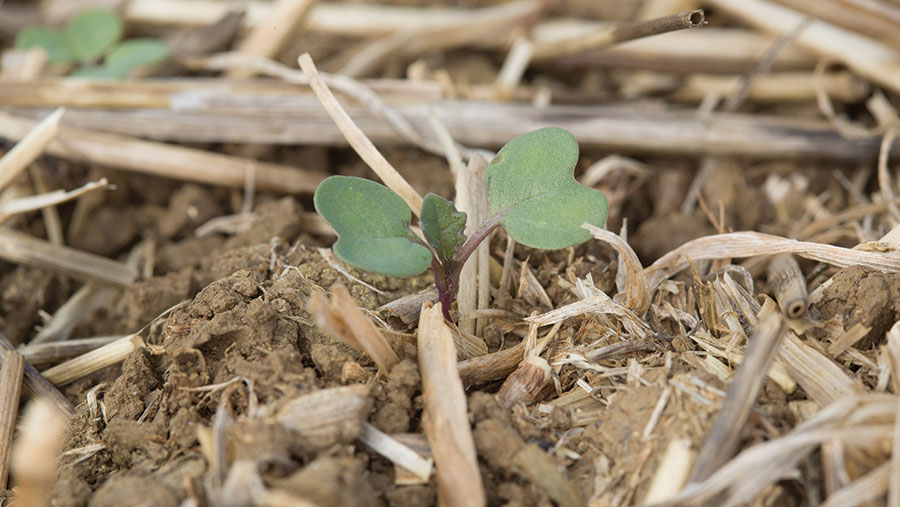 Young OSR plants in field