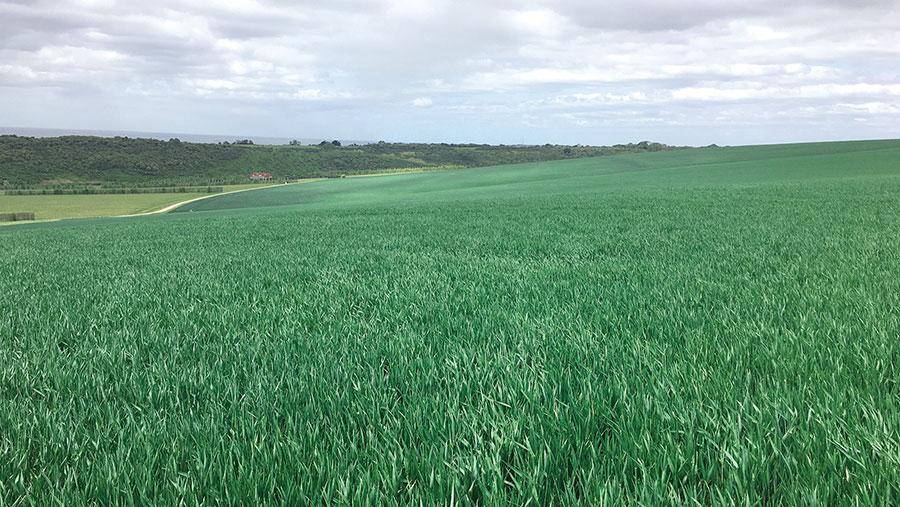A crop of KWS Firefly growing on land farmed by CH Ellis Ltd