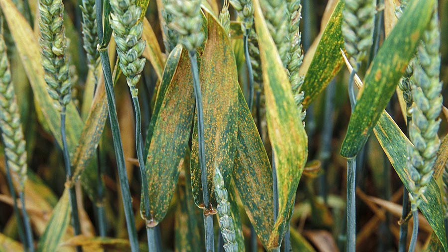 Brown rust thrives in summer conditions of warm days and cool nights © Blackthorn Arable