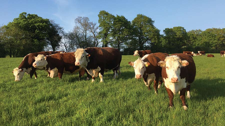 Fidelity Westons Hereford cattle in pasture