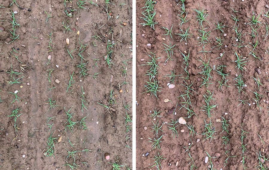 Hybrid winter barley