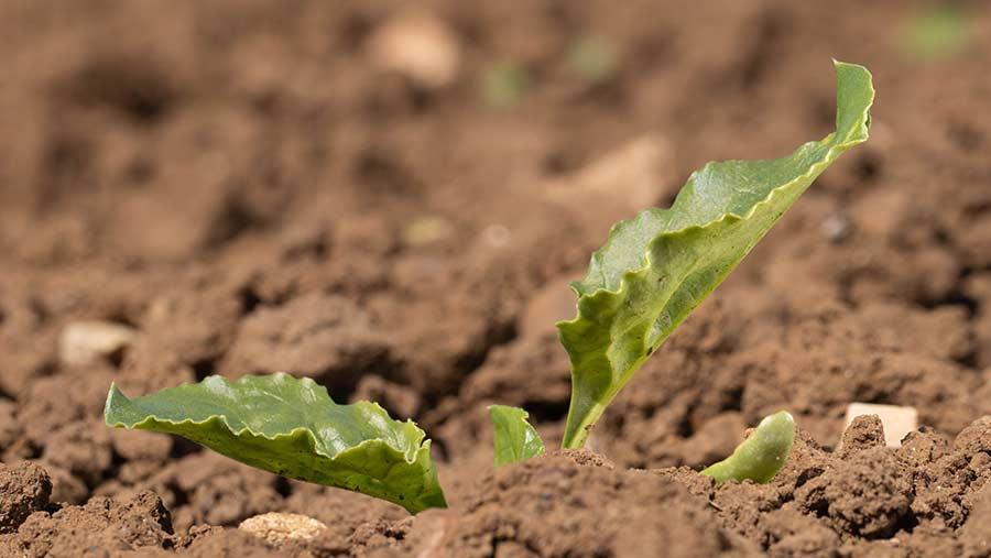 Young sugar beet plant
