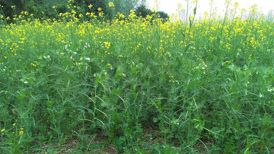 Intercropping peas and OSR