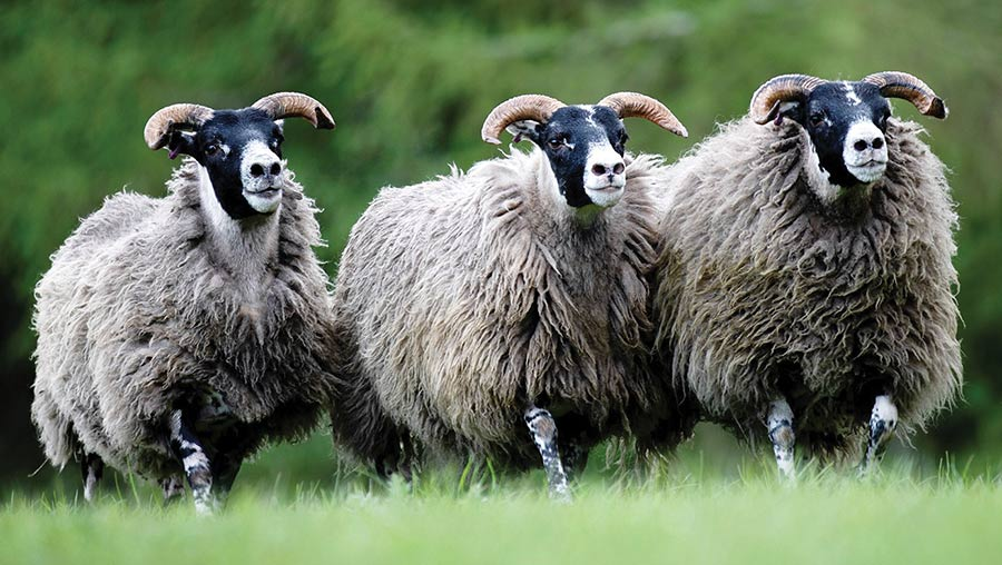 Three Blackface hoggs