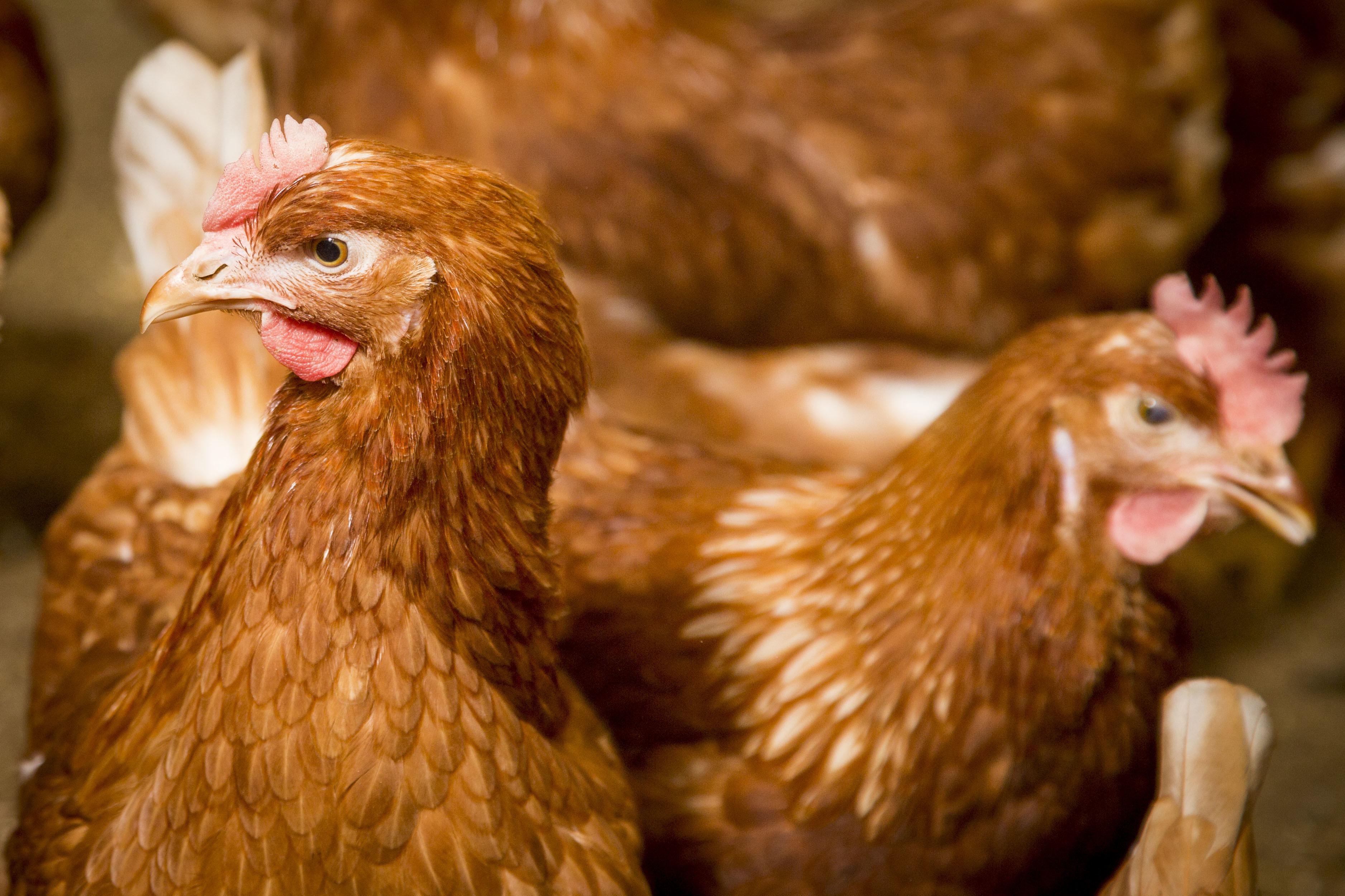 Avian influenza – free-range eggs beyond 28 February. Photo: Koos Groenewold