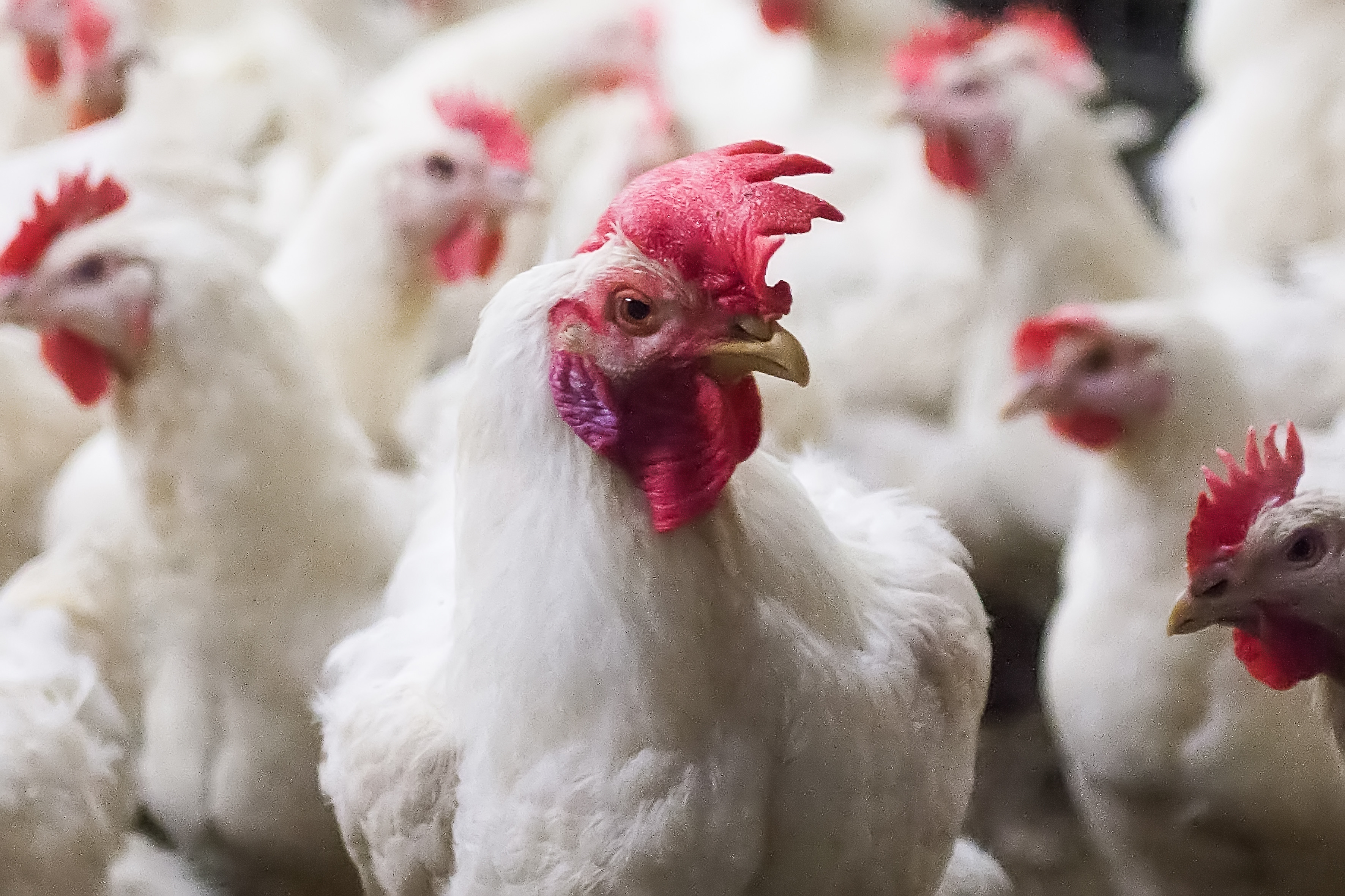Cargill reduces poultry antibiotics use by 55% in the UK. Photo: Ronald Hissink