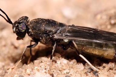 Black Soldier Fly. Photo: Shutterstock