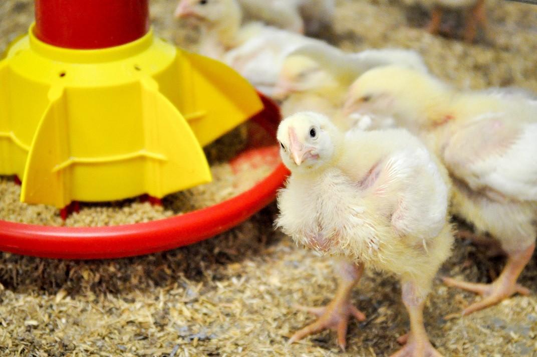 Photo: St David's Poultry Vets
