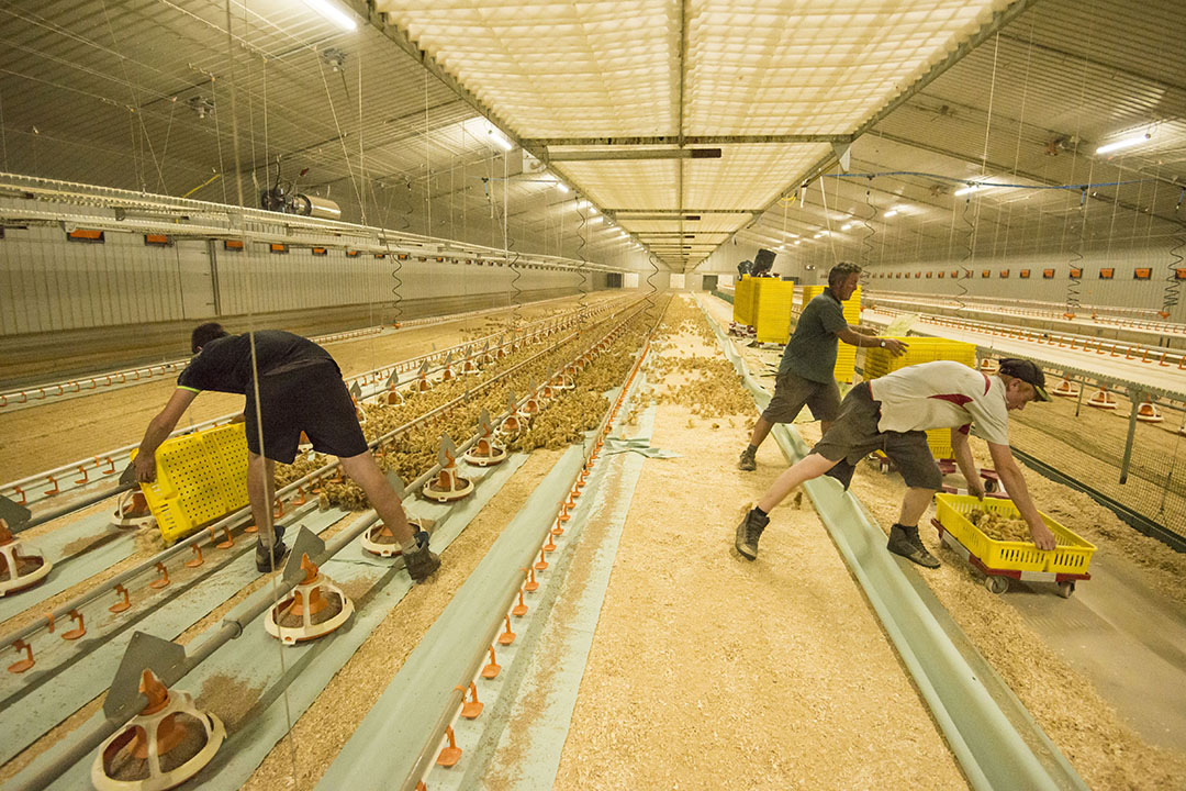 Defra said average income on poultry farms was up 77% to £96,000. Photo: FLPA / John Eveson/REX/Shutterstock