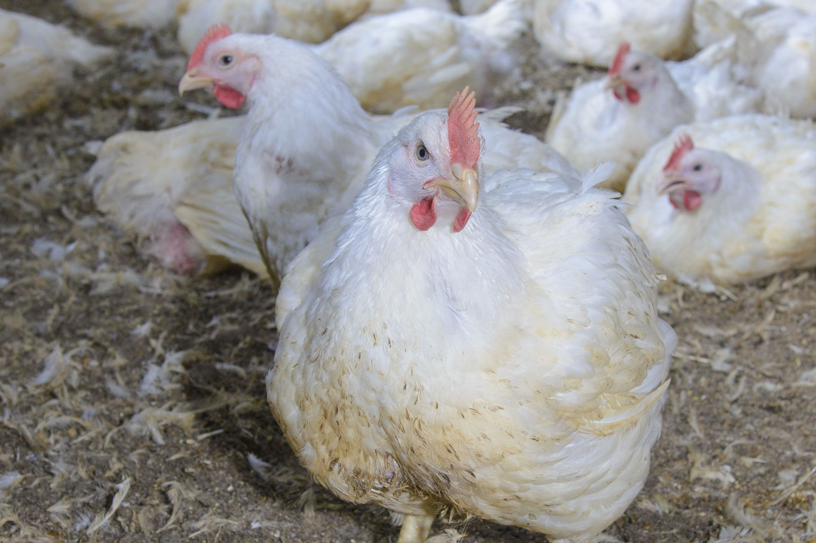 Between 2012-2016, the UK poultry meat sector reduced its use of antibiotics by weight by 71% while meat production during this period rose by 11%. Photo: John Eveson/Rex/Shutterstock