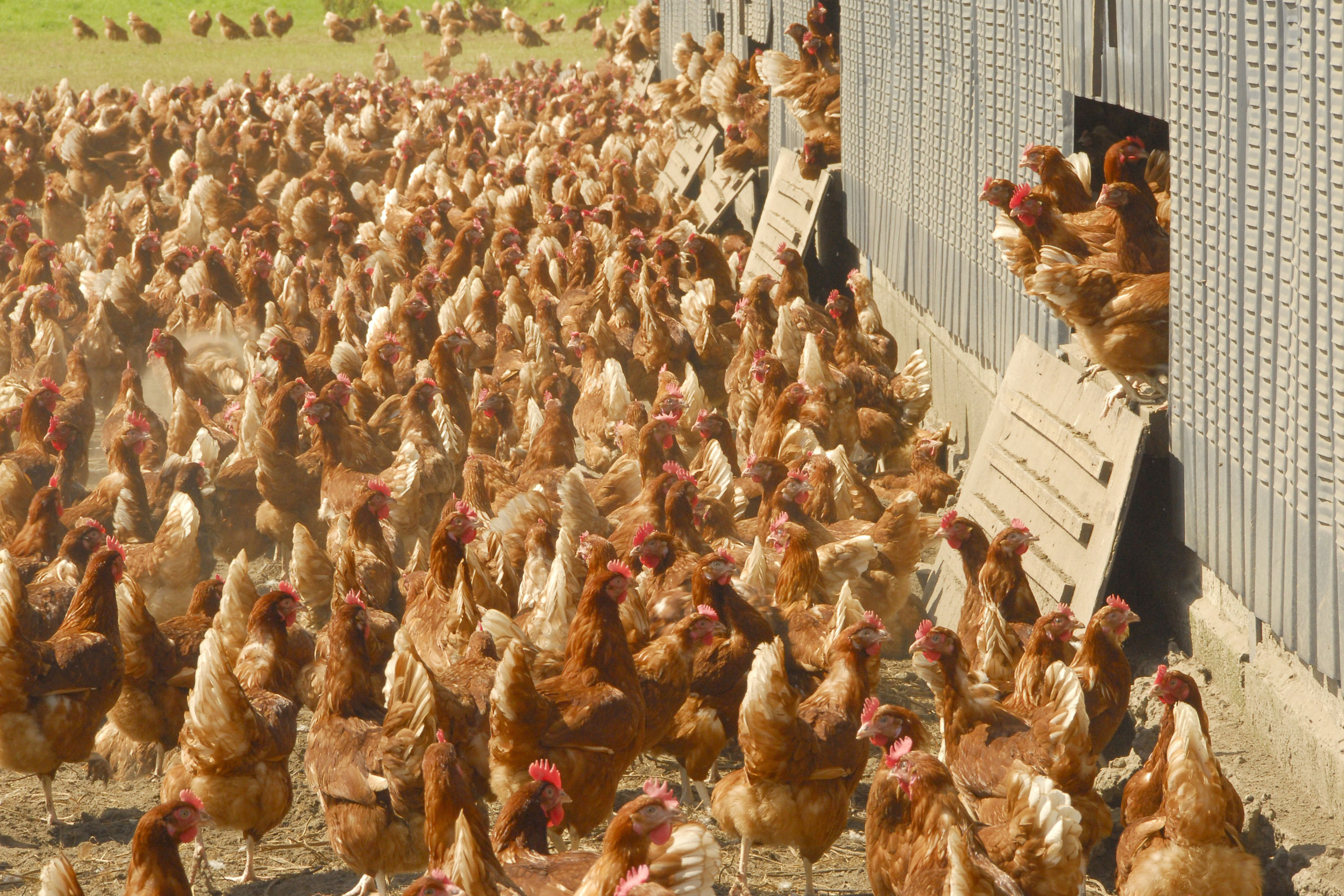 Poultry gatherings can resume in all areas outside the remaining AIPZ, but poultry from the affected districts of Lancashire, Cumbria and Merseyside will not be able to attend. Photo: Broker/Rex/Shutterstock