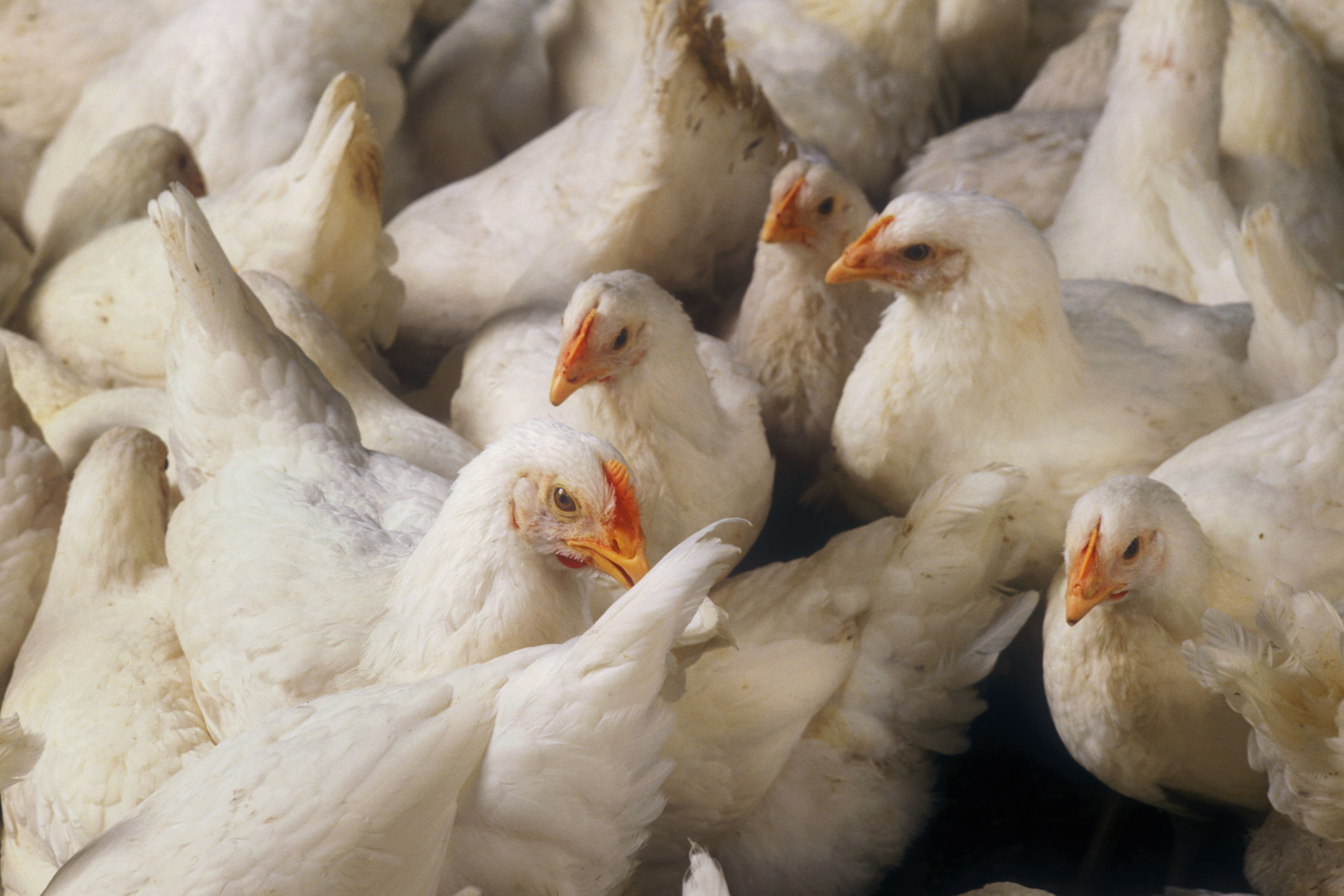 In a letter to RTA chicken producers, Red Tractor says studies have shown that bird behaviour, health and development are negatively affected by low light intensities, and that when given a choice birds consistently prefer higher light intensities. Photo: Design Pics Inc/Rex/Shutterstock