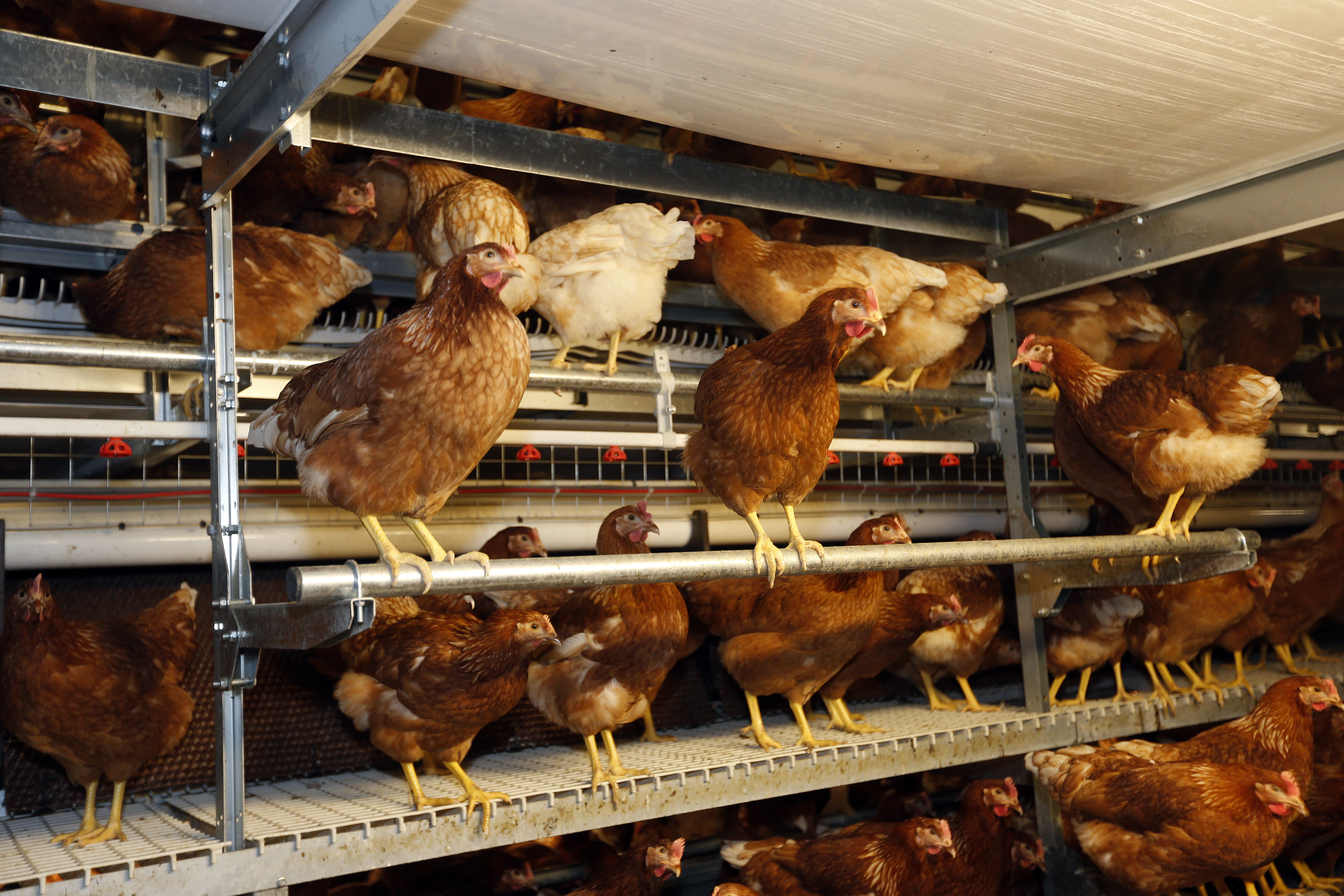 The new requirements for perches, which caused deep concern on welfare grounds from free-range producers, shows where perches can be positioned within the shed. Photo: Bert Jansen