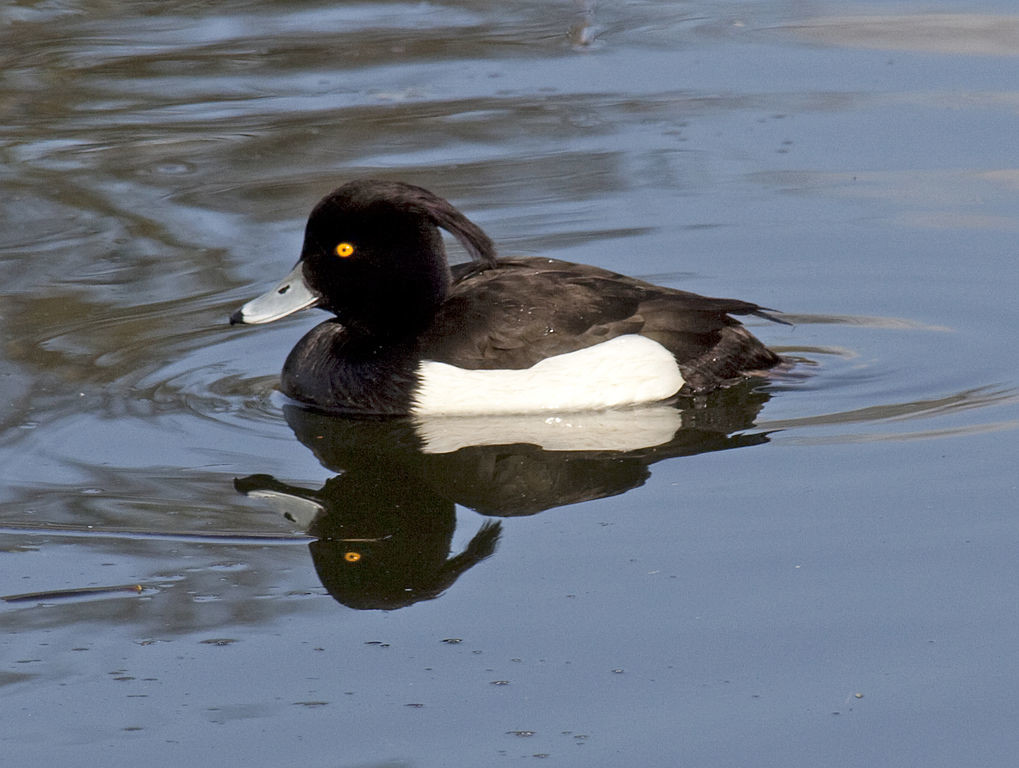 The latest reported cases involved a tufted duck in a park in Wakefield. Photo: Wikimedia_Tony Hisgett