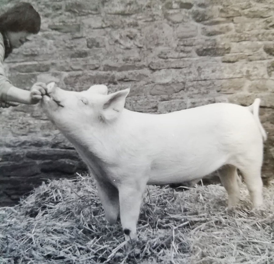 Roger Bowen with one of his Large White pigs