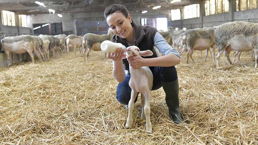 Woman feeding lamb