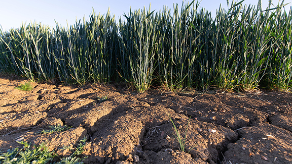 29.5.2020 Cracks in the soil in a Winter wheat crop ©Tim Scrivener Photographer 07850 303986      ....Covering Agriculture In The UK.