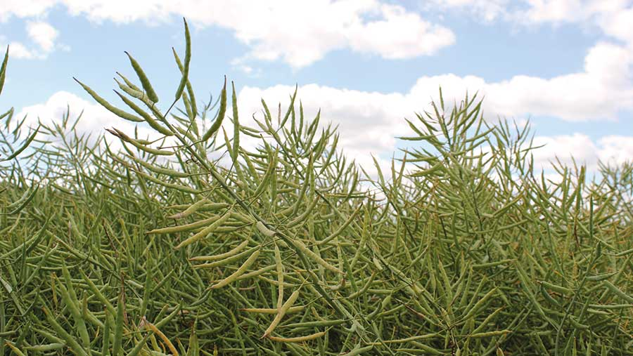 Acacia is a conventional but has the vigour of a hybrid