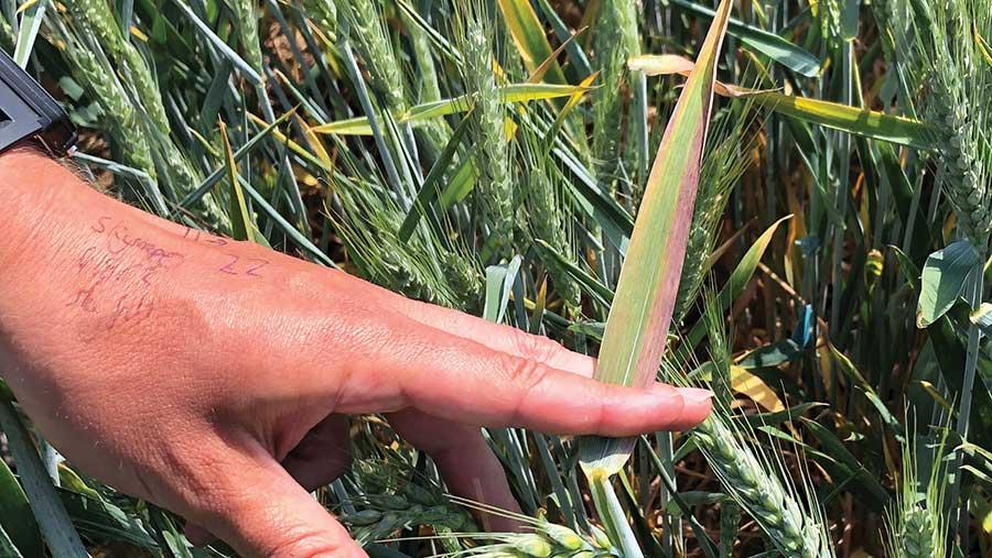 BYDV symptoms in wheat