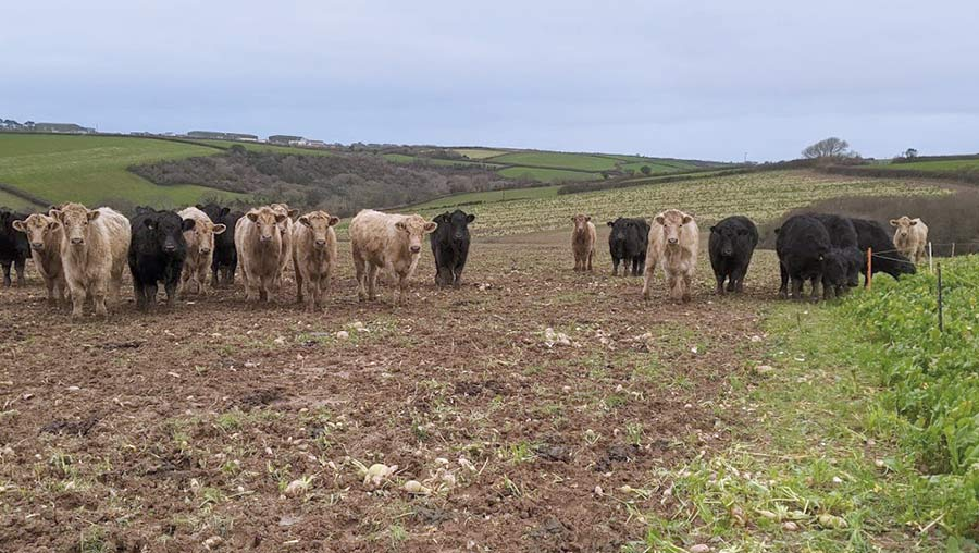 David Oates' cows strip grazing