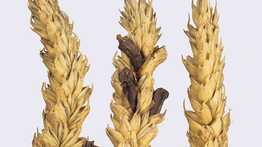 Ergot infection on wheat