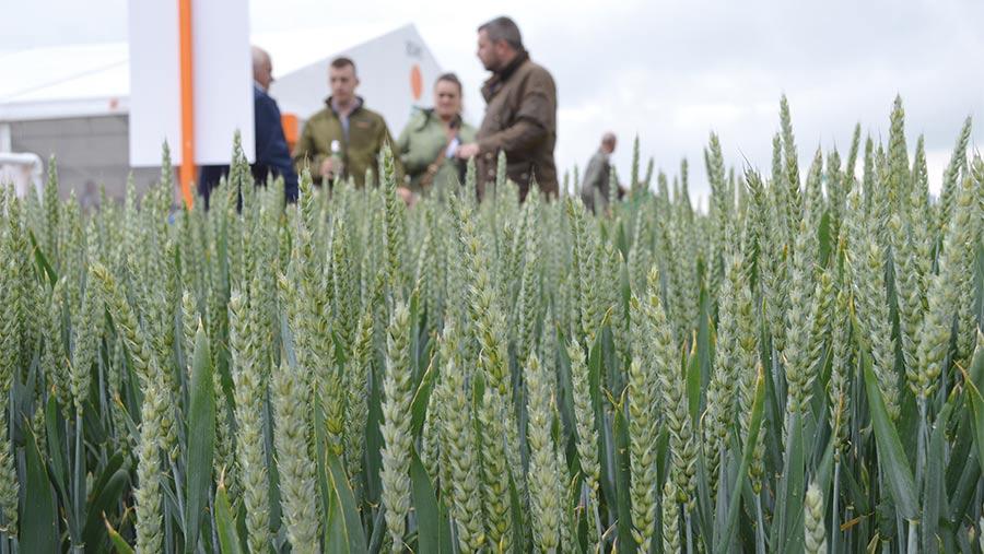 Extase wheat