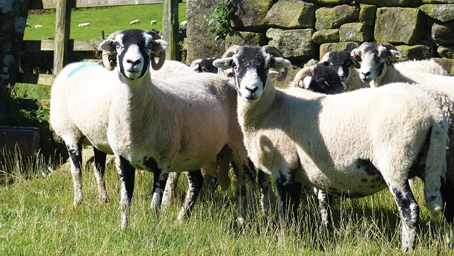 Swaledale sheep at Breck House farm