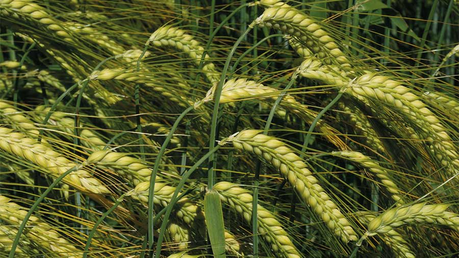 Two-row feed winter barley Valerie