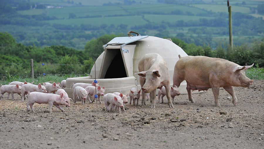 Sows and piglets outdoor farrowing