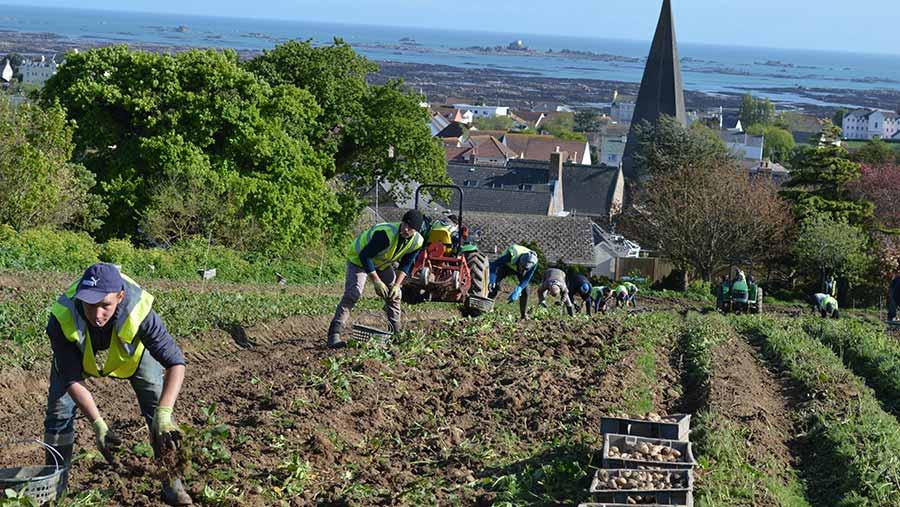 People hand-harvesting potatoes