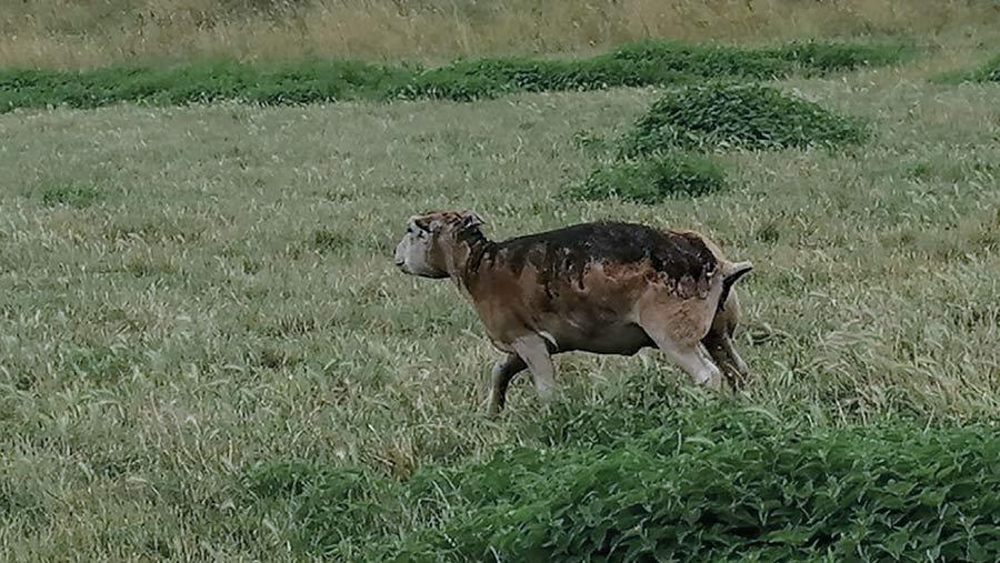 Burned sheep in field
