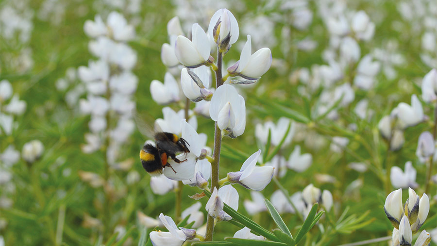 Bee on lupins