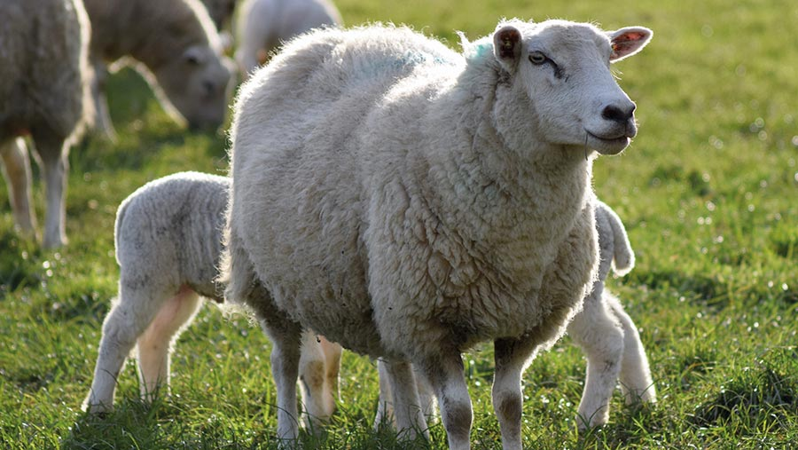 More than half of West Malling ewes weaned 60 of their weight or more at eight weeks this summer
