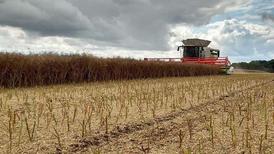 Combine harvesting OSR crop