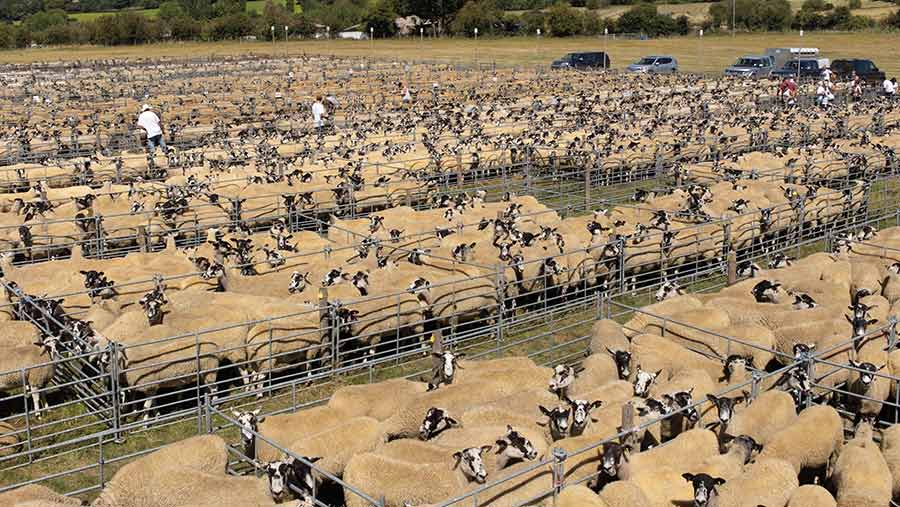 hundreds of sheep in pens at Thame