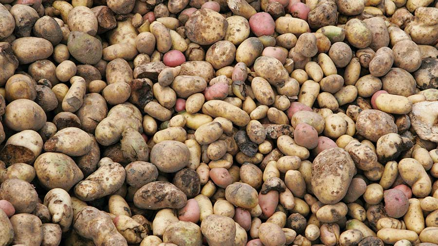 Pile of waste potatoes
