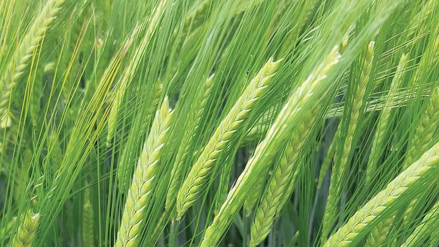 electrum barley