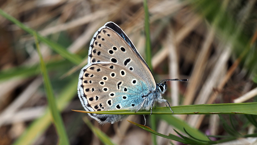 Female large blue on Rodborough Common in Gloucestershire © Sarah Meredith