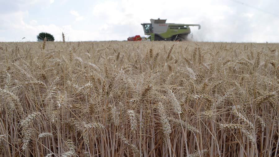 Harvesting Skyfall winter wheat