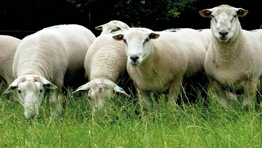 Meatlinc rams are forage reared and grown on permanent pasture
