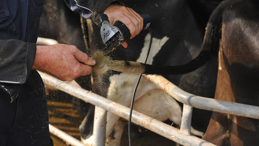 Clippers in use on a cow's tail