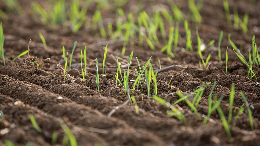 Young winter wheat plants in ground