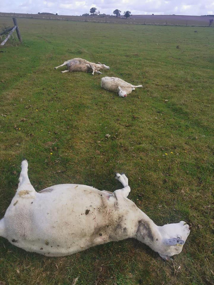 Dead sheep in field