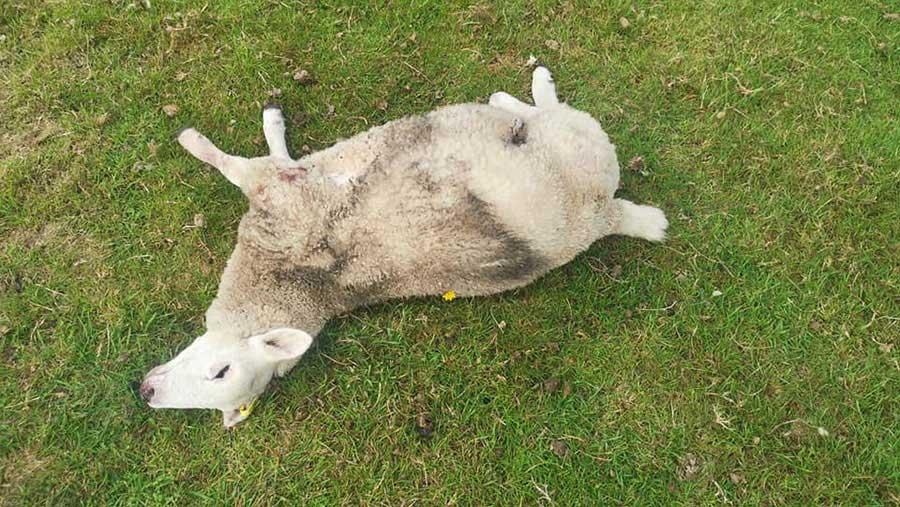 Dead lamb in field