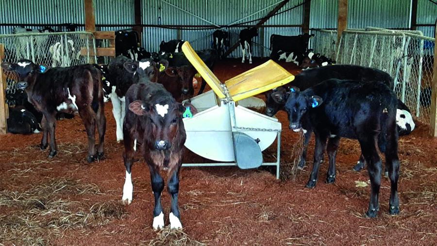 Calves feeding