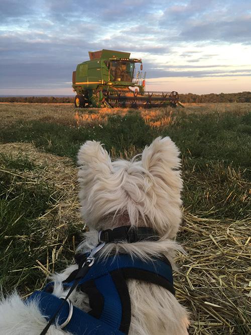 Dog watching harvest