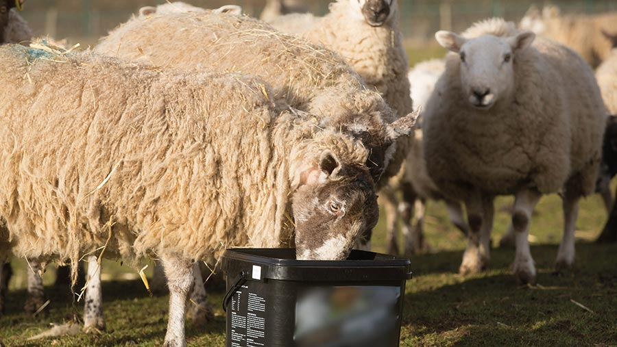 Multipurpose mineral supplements can be a waste of money and even harmful to the flock © Tim Scrivener