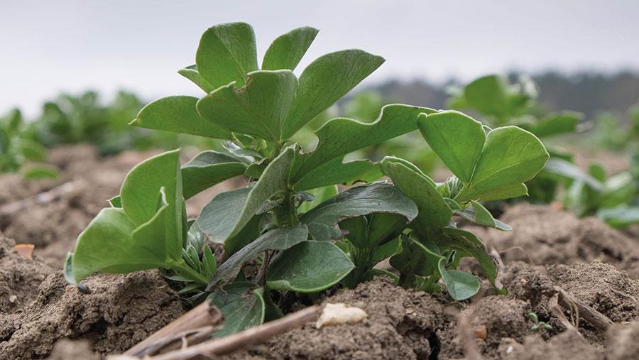 small winter beans plants in soil