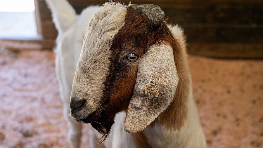 A surrogate sire goat © Washington State University