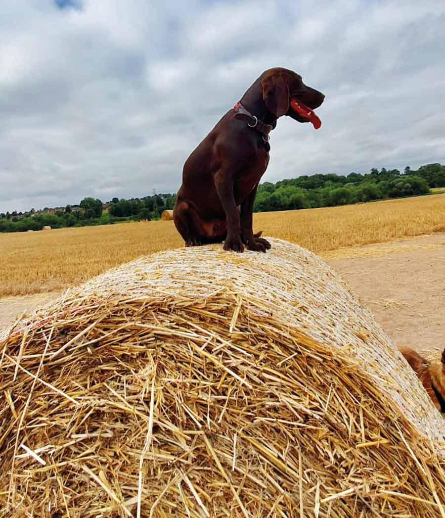 Dog sitting on bale of hay in field